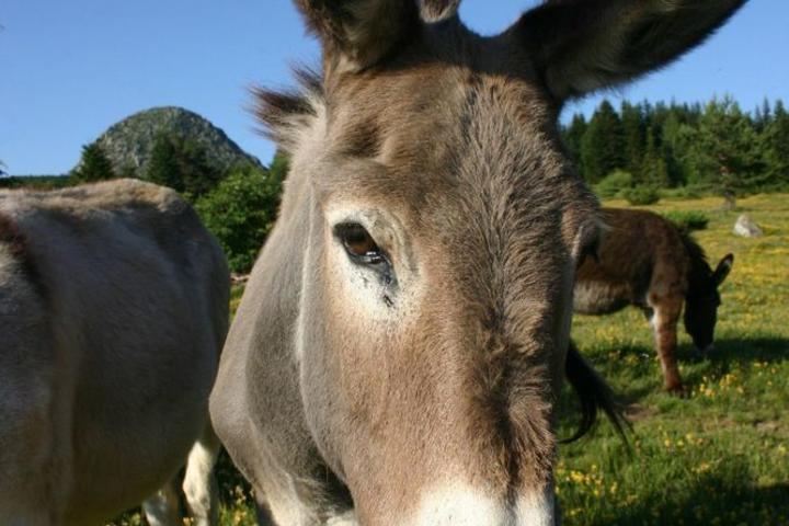 Guided hike with donkeys